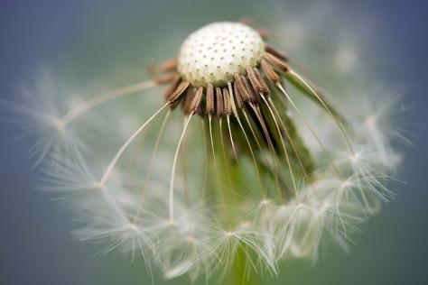 common-dandelion-335662_640