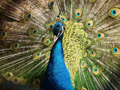 peacock-377748_640