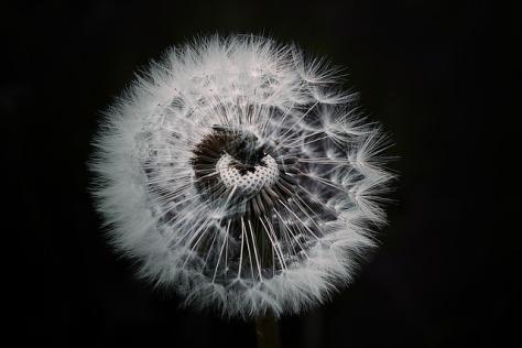 dandelion-1329776_640